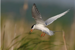 Big Muskego Lake Forsters Tern